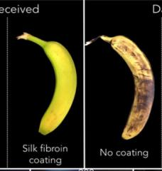 "Visual ""before"" and ""after"" comparisons of two bananas after nine days. One received a silk coating and remains yellow while the other didn't"