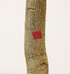 A bright red drug patch stuck to the bark of a young tree