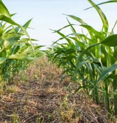 A ground-level image in between two rows of young corn stalks